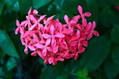 桃红色ixora有心脏形状。 免版税库存图片