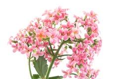 桃红色Kalanchoe 免版税图库摄影