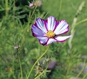 桃红色Kosmeya花在庭院里 免版税库存照片