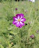 桃红色Kosmeya花在庭院里 库存照片