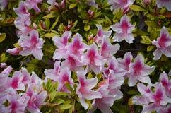 桃红色lillies 库存图片