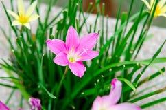 桃红色lilly雨花在庭院里 图库摄影
