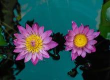 桃红色lotu在池塘 库存照片