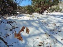 桃红色Manzanita Arctostaphylos Pringlei :在雪的阴影与橡木叶子 免版税库存照片