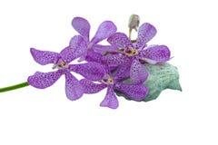 桃红色mokara兰花和扇贝壳(参见扇贝)孤立 免版税图库摄影