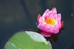 桃红色nymphea荷花花在池塘 图库摄影