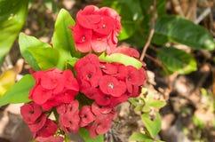 桃红色Poi西安在庭院里开花或桃红色基督刺花 免版税库存图片