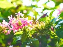 桃红色ruspolia 免版税图库摄影