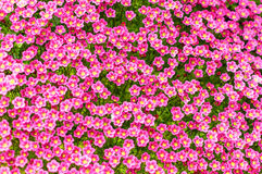 桃红色saxifrage Arends 库存图片