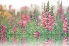 桃红色snapdragon金鱼草属majus庭院与水反射的 免版税库存照片