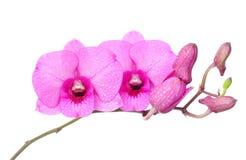 桃红色Spathoglottis植物 免版税库存照片