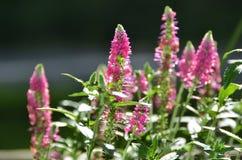 桃红色Speedwell四季不断的从事园艺的喜爱 免版税库存图片