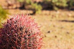 桃红色Spined桶式仙人掌(亚利桑那沙漠) 图库摄影
