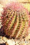 桃红色Spined桶式仙人掌(亚利桑那沙漠) 库存照片