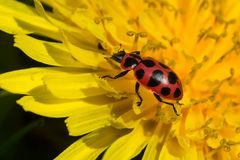 桃红色Spoted瓢虫- Coleomegilla maculata 图库摄影