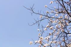桃红色Tecoma花和蓝天 库存照片