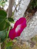 桃红色tinkerbell花在庭院里 库存照片