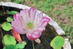 桃红色waterlily在美丽的池塘关闭或莲花 免版税库存图片