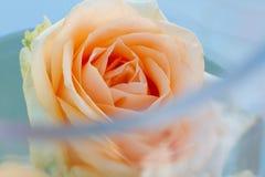 桃色在一个花瓶上升了用水,特写镜头 免版税库存图片