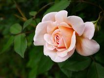 桃色在背景中上升了与绿色叶子 图库摄影