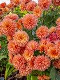 桃色的菊花花在庭院里 免版税库存照片