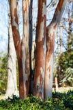剥在冬天绉绸桃金娘的吠声 免版税库存图片