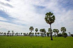 桄榔和绿叶米领域在Phetchaburi省,泰国 库存图片
