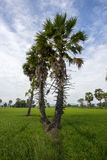 桄榔和绿叶米领域在Phetchaburi省,泰国 库存照片
