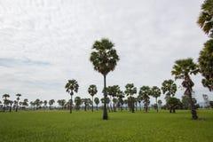 桄榔和绿叶米领域,泰国 免版税库存照片