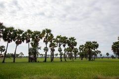 桄榔和绿叶米领域,泰国 库存照片
