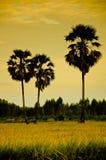 桄榔和黄色米领域 免版税图库摄影