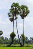 桄榔树和米领域 库存图片