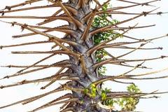 桄榔树,不生叶 免版税库存照片