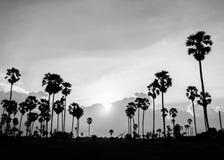 桄榔的剪影图片在日落的 免版税库存照片