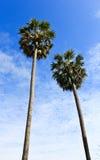 桄榔结构树和蓝天背景 免版税库存图片