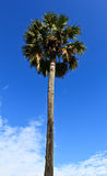 桄榔结构树和蓝天背景 库存图片