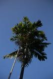桄榔结构树 库存照片