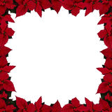 框架一品红正方形 图库摄影