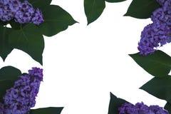 框架叶子和淡紫色花在白色背景 库存照片