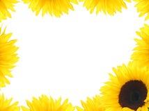 框架向日葵 库存图片