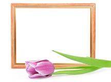 框架查出的郁金香白色 库存图片