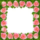 框架桃红色玫瑰 背景查出的白色 免版税图库摄影