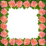 框架桃红色玫瑰 背景查出的白色 库存图片