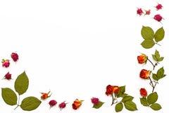 框架由干燥玫瑰和叶子制成在白色背景 贺卡的花纹花样与文本的地方 图库摄影