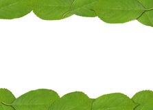 框架由绿色春天樱桃树叶子制成 免版税库存照片