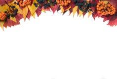 框架秋叶的顶部用在白色背景和狂放的葡萄隔绝的花楸浆果 库存图片