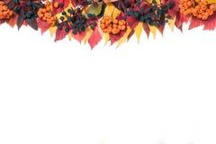 框架秋叶的顶部用在白色背景和狂放的葡萄隔绝的花楸浆果 免版税库存照片