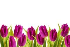 框架紫色郁金香 库存图片