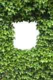 框架绿色常春藤叶子 库存图片