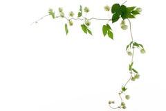 框架绿色蛇麻草本质 免版税图库摄影